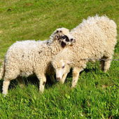 Lambs in a summer landscape — Stock Photo