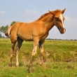 Stock Photo: Foal on summer pasture