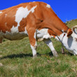 Cow on a summer pasture — Stock Photo #12632570