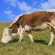 Cow on a summer pasture — Stock Photo #12632576