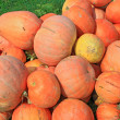Crop of pumpkins in the field — Stock Photo