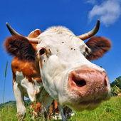 Koe op een zomer weiland — Stockfoto