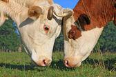 Cabezas de vacas contra un pasto — Foto de Stock