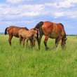 HorseS on a summer pasture — Stock Photo #12834133