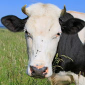 Head of a cow against a pasture. — Stock Photo