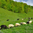 Stock Photo: Sheep in summer landscape