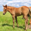 Foal on a summer pasture - Stock Photo