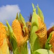 Young ears of corn against the sky - Stock Photo