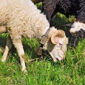 Ram in a summer landscape — Stock Photo