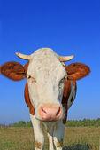 Kuh auf einer weide sommer. — Stockfoto