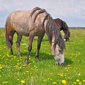Cavalli su un pascolo estivo — Foto Stock