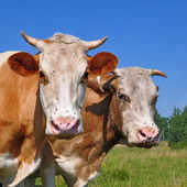 Heads of a cow against a pasture — Foto Stock