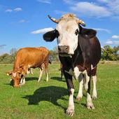 Vacas en un pasto de verano — Foto de Stock