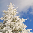 Foto Stock: Fir under snow