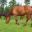 Horses on a summer pasture — Stock Photo #13330187