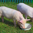Foto Stock: Small pigs on green grass