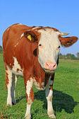 夏季牧场上牛 — 图库照片