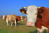 Kor på ett sommarbete — Stockfoto