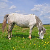 Horse on a summer pasture — Stock Photo