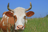 Cow on a summer pasture. — Stock Photo