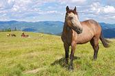 Cavallo su un alpeggio estivo — Foto Stock