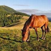 Paard op een zomer berg grasland — Stockfoto
