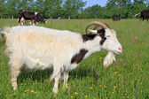 Goat on a summer pasture — Stock Photo