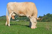 夏放牧牛します。 — ストック写真