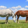 Horses on a summer pasture — Stock Photo #13826742