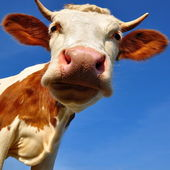 Head of the calf against the sky. — Stock Photo