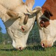 Heads of cows against a pasture — Stock Photo