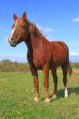 Paard op een zomer weiland — Stockfoto