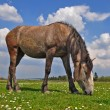 Stock Photo: Horse on summer pasture