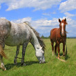 Foto Stock: Horses on summer pasture
