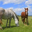 Stock Photo: Horses on summer pasture