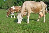 Коровы на пастбище летом — Стоковое фото