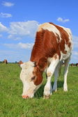 The calf on a summer pasture — Foto de Stock