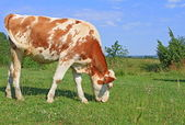 The calf on a summer pasture — Photo