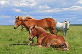 Pferde auf einer sommer-weide — Stockfoto