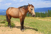 Horse on a summer mountain pasture — Stock Photo