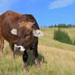 Calf on summer mountain pasture — Stockfoto #14566839