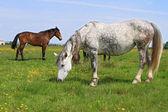 Paarden op de weide van een zomer — Stockfoto