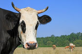 Cabeça de uma vaca contra um pasto. — Foto Stock