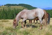 Caballos en un pastizal de montaña de verano — Foto de Stock