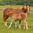 Foal with a mare on a summer pasture — Stok fotoğraf