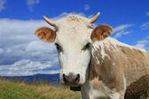 夏の山の牧草地に牛します。 — ストック写真