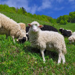 Sheep in a summer landscape - Stock Photo