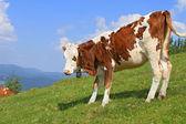 Kalven på en fäbod berg. — Stockfoto