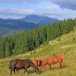Horses on summer mountain pasture — Stock Photo #16037061