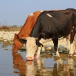 Cows on a watering place — Stock Photo